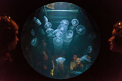 "© Licensed to London News Pictures. 20/11/2019. LONDON, UK. Visitors view ""win > < win"", 2017, by the artist collective Rimini Protokoll, a tank of live jellyfish, one of the few species that actually benefit from the effects of global warming. Preview of ""Eco-Visionaries"" exhibition at the Royal Academy of Arts in Piccadilly.  The exhibition examines humankind's ecological impact on the planet through works from 21 international practitioners using a variety of media.  The show runs 22 November to 23 February 2020.  Photo credit: Stephen Chung/LNP"