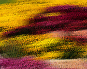 Multi Colored Mums 501