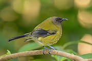 In 1969, only 24 bellbirds existed on Tiritiri Matangi Island!  Supplemental feeding stations with sugar water helped the bellbirds to move beyond their dependence on the fruit and flowers of the two surviving puriri trees on Tiritiri.
