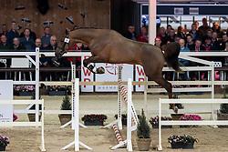 031, Quickly van't Zorgvliet<br /> Hengstenkeuring BWP - Lier 2019<br /> © Hippo Foto - Dirk Caremans<br /> 18/01/2019