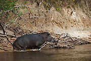 Brazilian Tapir (Tapirus terrestris)<br /> Rainforest<br /> Rewa River<br /> Iwokrama Reserve<br /> GUYANA. South America<br /> IUCN: VULNERABLE<br /> RANGE: Amazon Rainforest and River Basin in South America, east of the Andes. Its range stretches from Venezuela, Colombia, and Guianas in the north to Brazil, Argentina, and Paraguay, in the south, to Bolivia, Peru, and Ecuador in the West.