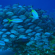 Fish over coral reef. Cozumel, Quintana Roo. Mexico.