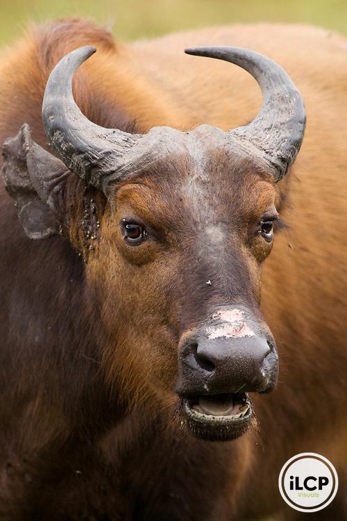 Forest Buffalo (Syncerus caffer nanus), Lope National Park, Gabon