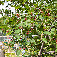 Serviceberry (Amelanchier canadensis)