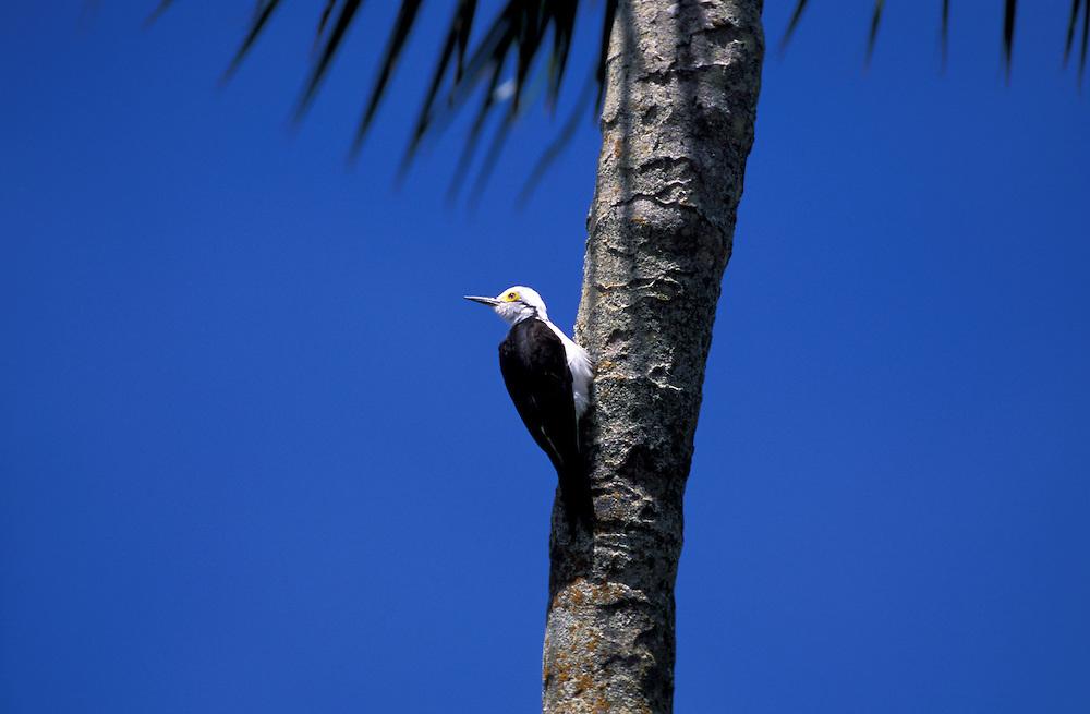 White Woodpecker (Melanerpes candidus) Pantanal, South of Cuiaba, Mato Grosso, Brazil