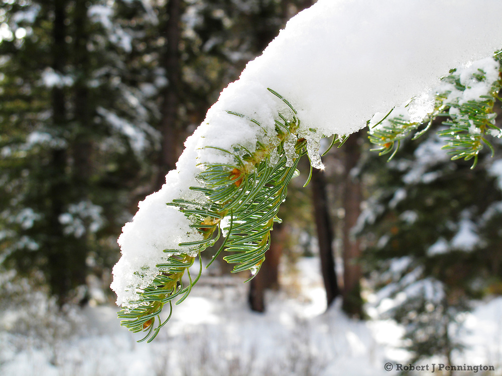 Winter snow on a pine branch in the Wasatch Mountains of Utah.
