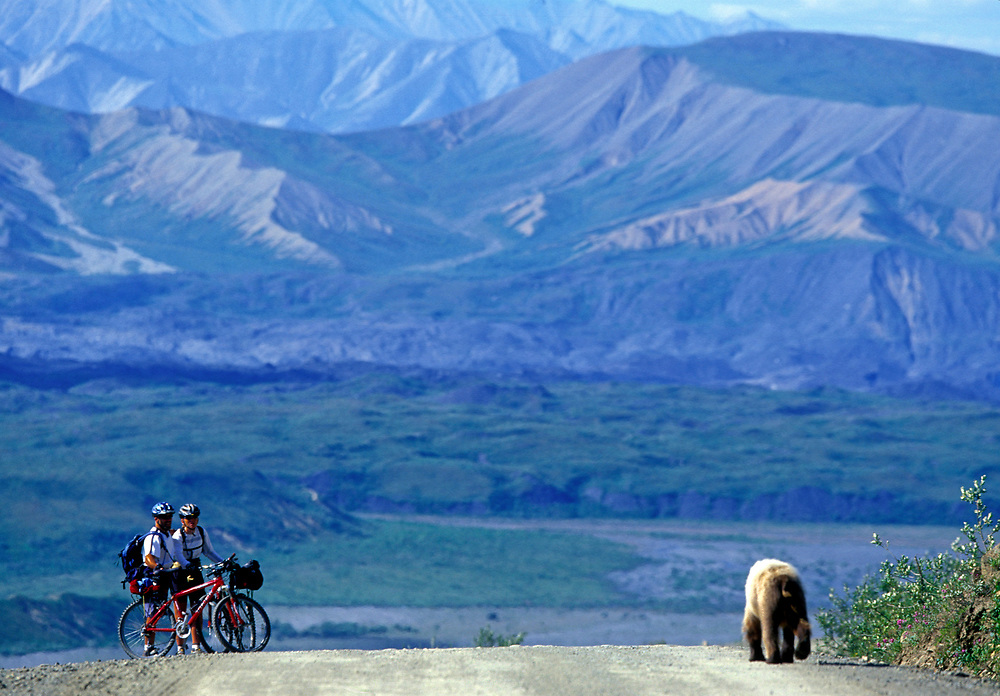 USA, Alaska, Denali National Park, Grizzly Bear (Ursus arctos) walks toward mountain bikers on park road at Thorofare Pass