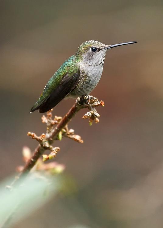 Anna's Hummingbird (Calypte anna), Lummi Island, Washington State