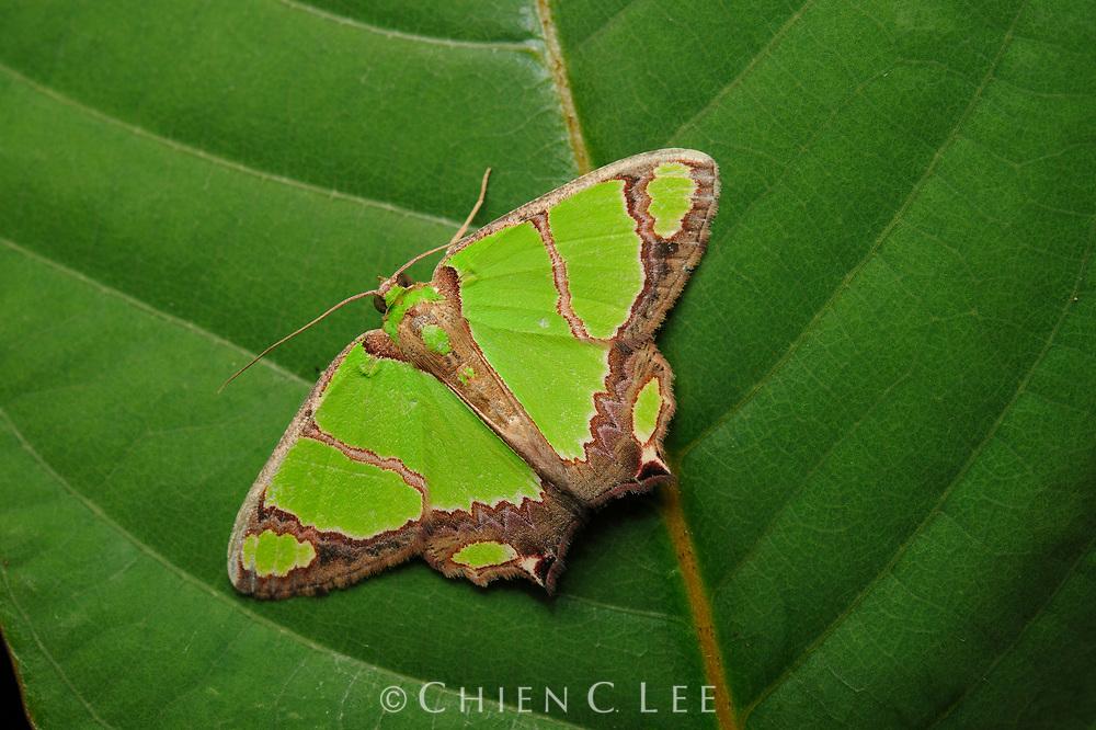 Moth (Agathia deliciosa). Sarawak, Malaysia.