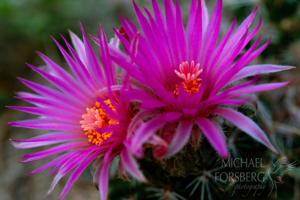 "Kimball County, Nebraska.  ""Pincushion"" refers to the genus Mammillaria which contains 171 known species. This specific plant is a Rose Pincushion or Mammillaria Zeilmanniana. The Pincushion Cacti are known for their exquisitely beautiful flowers which are open during the warm, sunny afternoon, but close at nights. The blossoms decorate the flower from spring through fall and during the growing season glossy red fruit dots the plant as well. These cacti flourish in the porous, coarse soil of Kimball County."