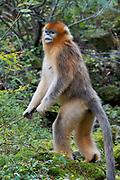 Golden snub-nosed Monkey (Rhinopitecus roxellana ssp. qinligensis), adult female standing upright on hind legs. Zhouzhi Nature Reserve, Qinling Mountains, Shaanxi, China.
