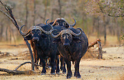Herd of four African Cape buffalos,  Grumeti,Tanzania, East Africa