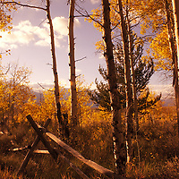 Split-rail fence in red aspen grove, Antelope Flats, Wyoming, vertical