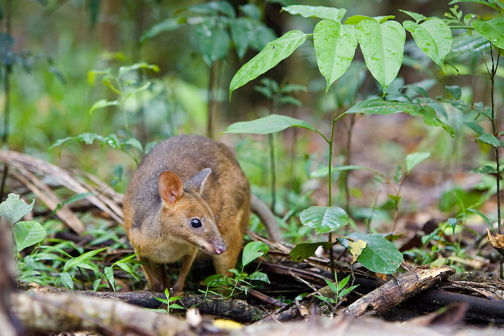 Red-legged Pademelon in the rainforest, Daintree, Queensland, Australia