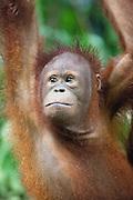 Portrait of Young Bornean Orangutan, Pongo pygmaeus morio, Orang Utan Sanctuary Sepilok, Sabah, Borneo