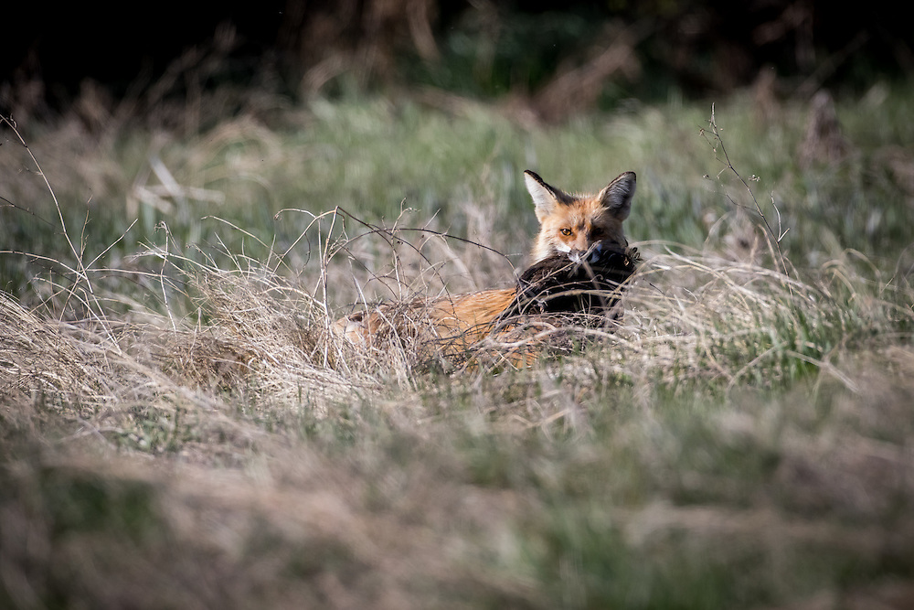 red fox with ruffed grouse