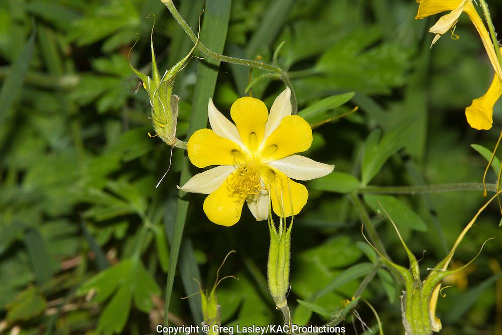 Longspur Columbine.Aquilegia longissima.Cattail Falls,.Big Bend National Park,.Brewster Co., Texas.6 May 2010