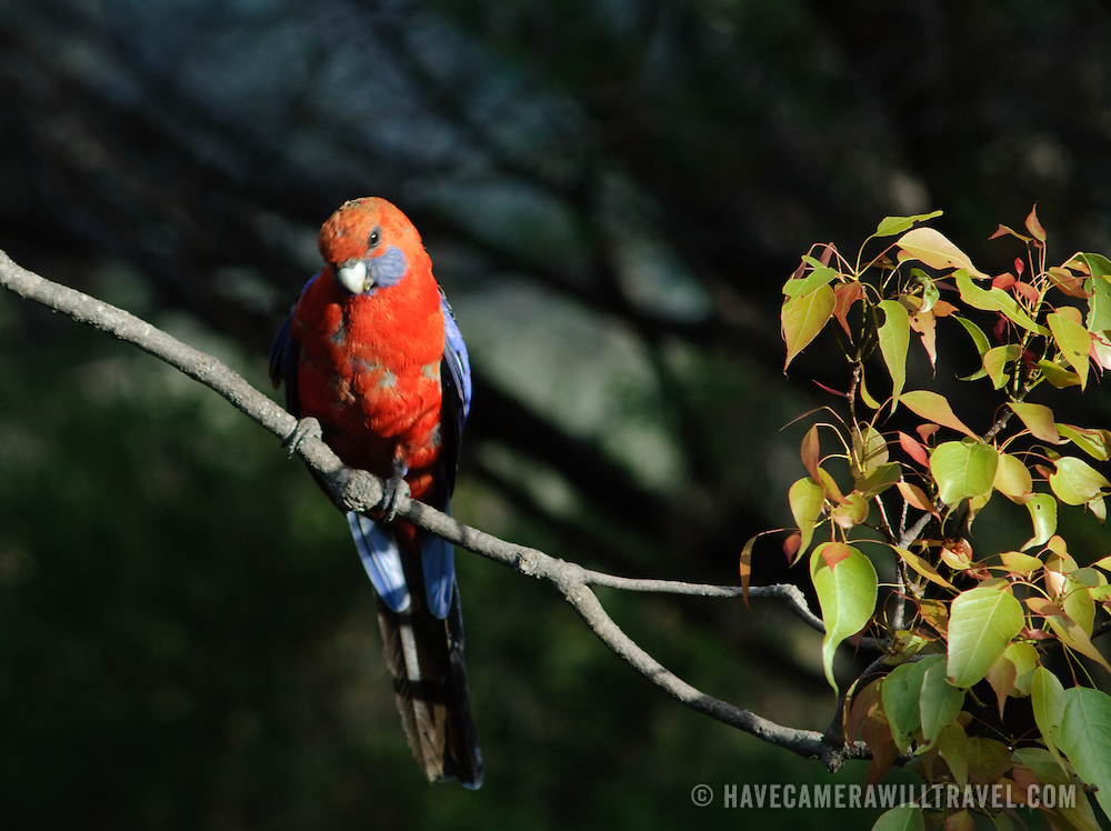 Wild rosella in the Australian bush