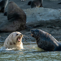 A male Antarctic fur seal spars with a lighter colored leucistic male at Elsehul, a bay on the northwest coast of South Georgia Island.