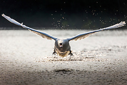 © Licensed to London News Pictures. 26/05/2018. Leeds UK. A swan flies over the lake at Golden Acre park in Leeds this morning as Yorkshire awoke to a bright sunny day. Photo credit: Andrew McCaren/LNP