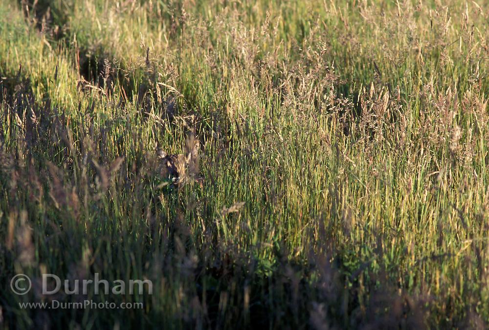 Pronghorn calf (Antilocapra americana) hidden in grass. Hart Mountain National Wildlife Refuge, Oregon.