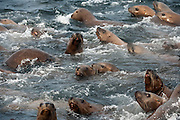 Steller Sea Lions, Eumetopias jubatus, an endangered species, swim near a rocky island north of Vancouver Island, British Columbia, Canada.