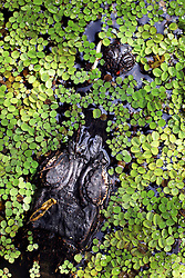 01 June 2015. Jean Lafitte National Historic Park, Louisiana.<br /> An alligator camouflaged in the swamp at the Barataria Preserve wetlands south of New Orleans.<br /> Photo©; Charlie Varley/varleypix.com
