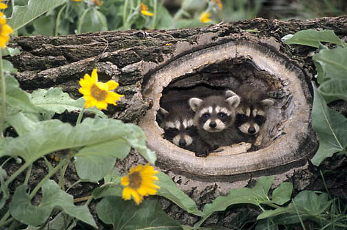 Raccoon, (Procyon lotor) Young in hollow log. Arrowleaf Balsamroot flowers in bloom. Montana. Captive Animal.