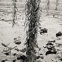 Black and white panorama of Weeping Willow foliage hanging over the lake at Behai Park in Bejing, China.