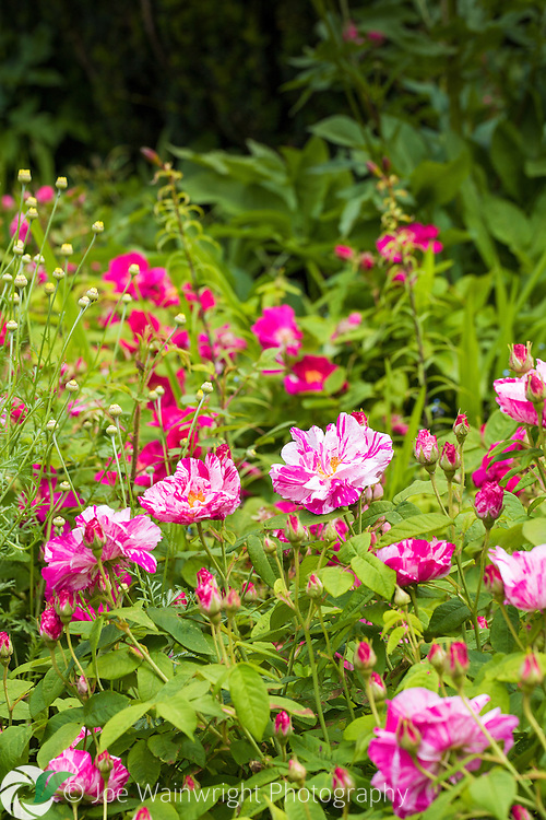 Roses flowering along the Rose Walk at Hidcote Manor Garden, Gloucestershire.