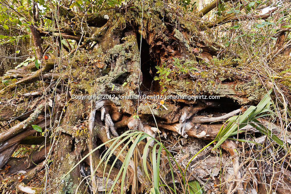 End-on view of the base of a fallen tree, covered in a variety of lichens, ferns and other vegetation, in Mahogany Hammock, Everglades National Park, Florida. WATERMARKS WILL NOT APPEAR ON PRINTS OR LICENSED IMAGES.