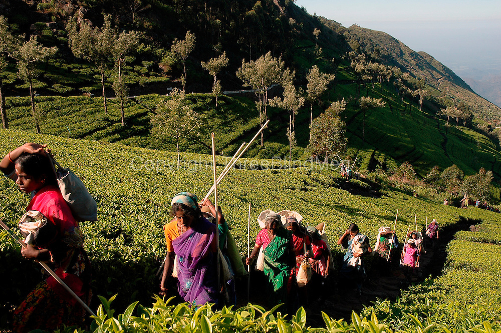 Tea Estate workers climbing up Dambetenne to begin a days work.<br />