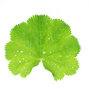 Green leaf with water droplets on white background.