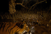 Royal Bengal Tiger in the mangrove forest of the Sundarbans.  Photographed by remote camera (camera trap).  Endangered Species (IUCN Red List: EN)
