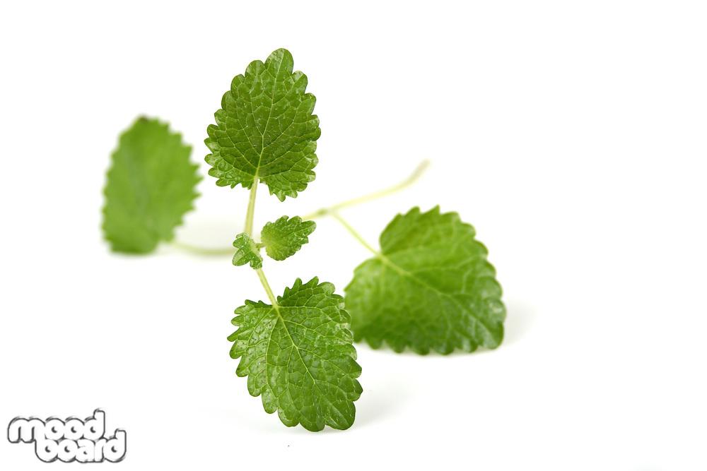 Closeup of fresh mint on white background