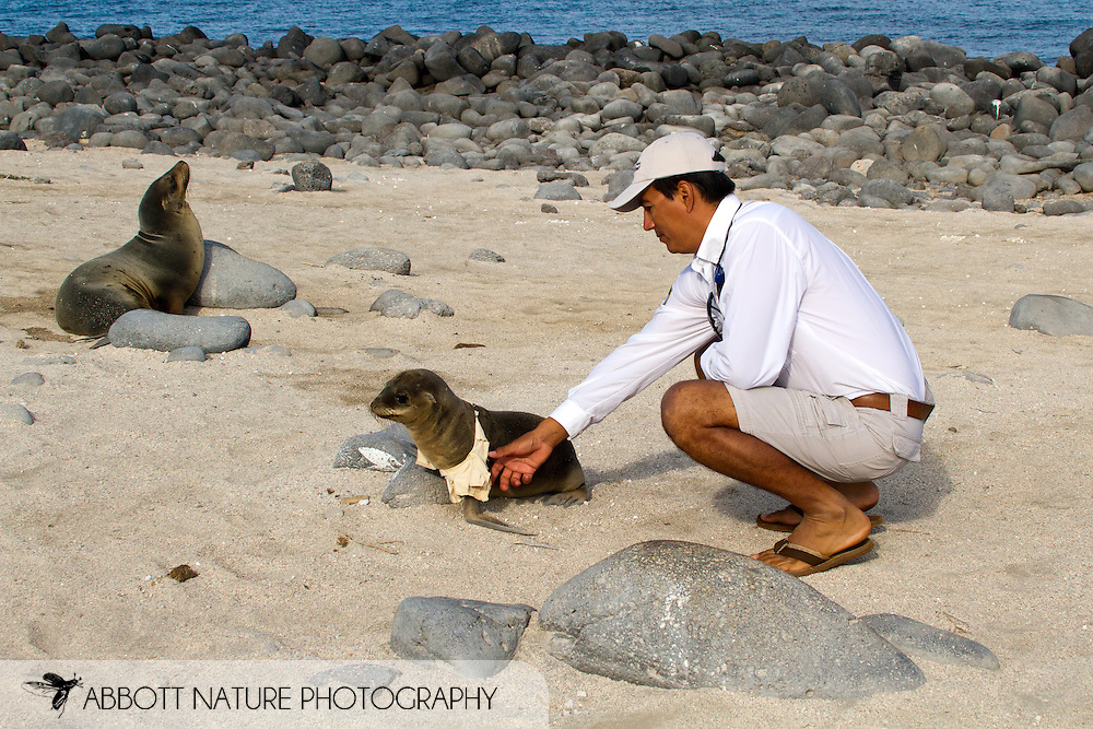Galapagos guide (Charly) removing t-shirt that was wrapped around Galapagos Sea Lion (Zalophus californianus wollebaeki or Zalophus wollebaeki) pup's neck<br /> ECUADOR: Galapagos Islands<br /> North Seymour Island (Isla Seymour Norte)<br /> 27-Aug-2010<br /> J.C. Abbott &amp; K.K. Abbott