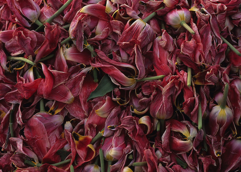 A pile of cut tulip heads from the bulb fields in the north of Holland