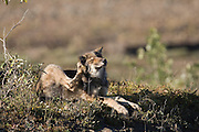 Wolf, Canis lupus, pup rests on autumn tundra, scratching Grant Creek pack, horizontal, Denali National Park, Alaska, wild