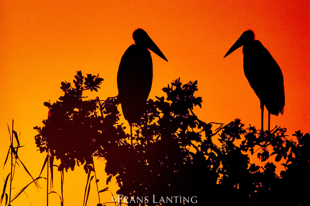 Marabou storks in tree at sunset, Leptoptilos crumeniferus, Okavango Delta, Botswana