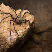 Huntsman species (Heteropoda sp.) in a small cave in Mu Ko Lanta national marine park, Thailand