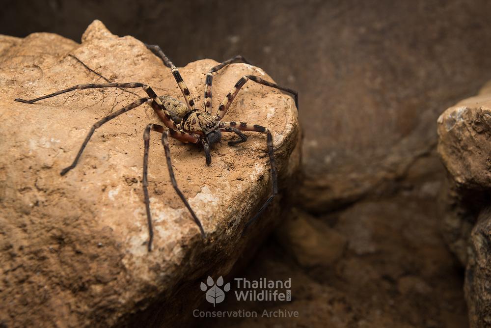 Huntsman species (Heteropoda sp.) in a small cave in Mu Ko Lanta national marine park, Thailand