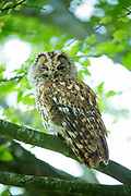 Tawny owl - Strix aluco - also known as brown owl, roosting on a tree branch in England