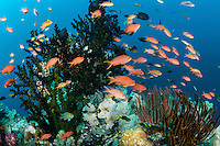 Anthias feed in strong current<br /> <br /> Shot in Indonesia