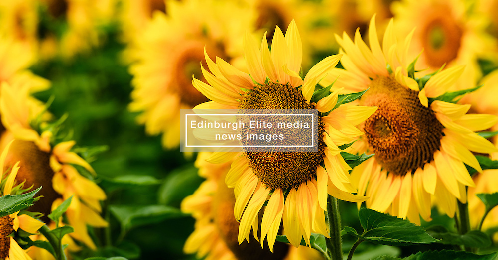 Sunflowers growing on the Côtes de Duras, Lot et Garonne, France<br /> <br /> (c) Andrew Wilson | Edinburgh Elite media