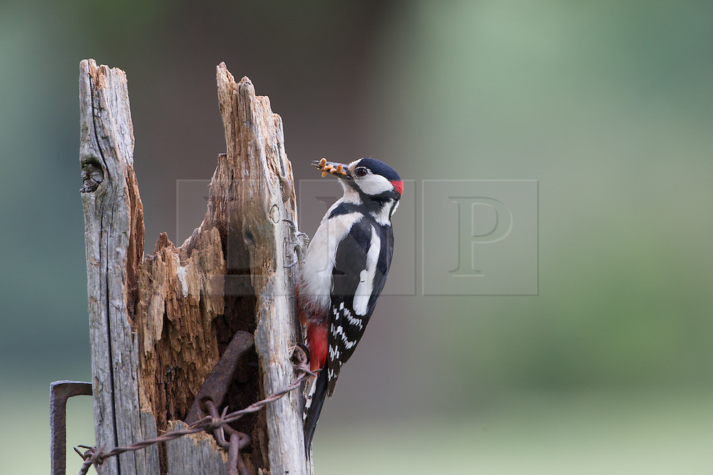 © Under license to London News Pictures. 27/06/203. Droitwich Spa, UK. A Great Spotted Woodpecker holding food. A little owl and a Great Spotted Woodpecker come face to face as they clash over food while feeding their young in a nature reserve in Droitwich Spa, Worcestershire. The rare and beautiful images were captured by wildlife photographer Ian Schofield while out bird watching. Photo credit should read IAN SCHOFIELD/LNP