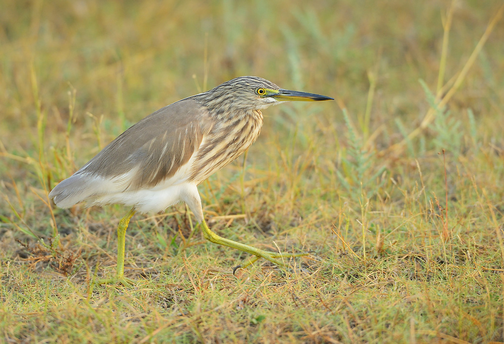 Indian Pond Heron, Ardeola grayii, Pulicat Lake, Tamil Nadu, India
