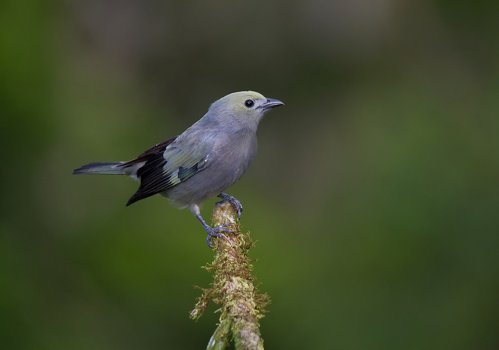 Palm Tanager (Thraupis palmarum) perched on a branch in a Costa Rican rainforest.