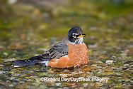 01382-049.09 American Robin (Turdus migratorius) bathing, Marion Co. IL