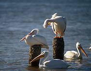 Pelicans and Gulls The American white pelican is a large aquatic soaring bird from the order Pelecaniformes. It breeds in interior North America, moving south and to the coasts, as far as Central America and South America, in winter.
