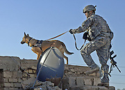"""Dec 23, 20010 - Galahbia, Diyala, IRAQ - <br /> <br /> Navy SEAL Dog That ended bin Laden's reign of terror forever<br /> <br /> Dogs of War<br /> It Took a dog to corner a Rat!, In a hellish nightmare of smoke, explosions, gunfire, screams and confusion, Navy SEAL Team Six commandos stormed the pitch-black, fortified compound in Pakistan - believing, but not for knowing for sure, it was the lair of Osama bin Laden.<br /> <br /> There was no time for a room-by-room search. At the moment, Pakistani jets might scramble to blow the attackers helicopters out of the sky, and initially stunned bodyguards would have time to grab their weapons. But one attacker knew exactly where bin Ladden was, and led SEAL sharp shooters directly to where the terror leader was cowing behind one of his wives.<br /> <br /> That super commando? A very special, highly trained Super Dog!<br /> The Four legged SEAL had been given the Al-Qaida leader's scent from a piece of his clothing previously smuggled out of the compound. Tracking the scent, the hero dog ignored the raging firefight around him and flew  up the stairs like a heat-seeking missile towards his target.<br /> <br /> The Four legged Terrorist fighter followed his nose to the third floor quickly leading the commandos to bin Ladden, who was shot and killedas he tried to grab his AK-47 rifle.<br /> <br /> The mission began with the fearless animal being lowered from a helicopter into bin Ladden's walled compound. Commandos began engaging the enemy and rounding up bin Ladden family members as the dog raced toward Target No. 1.<br /> <br /> Incredibly, SEAL dogs can sniff out the scent of a particular enemy from up to two miles away and, should their target run, take him down.<br /> <br /> """"They can run up to 30mph"""", Alex Dunbar, a colorado based former Marine who trains special operations dogs for the U.S. Military.<br /> <br /> SEAL dogs are trained to wear and utilise special combat gear. They are protected by armoured vests and may"""